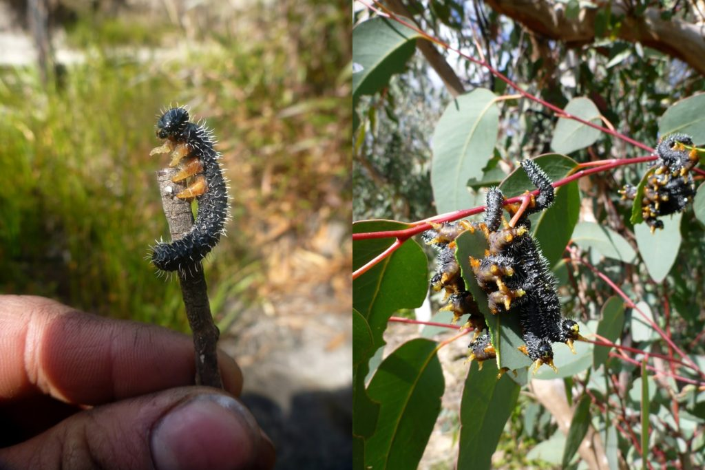 Ruby picked up friend on the walk back to our packs - perhaps a sawfly larvae (?).